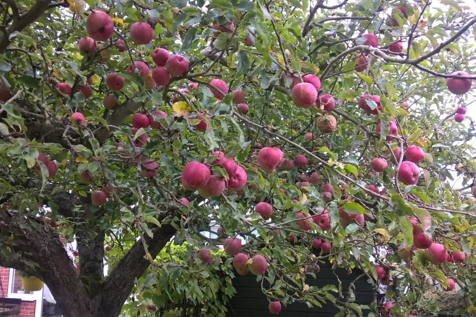 Transatlantic Apple Tree
